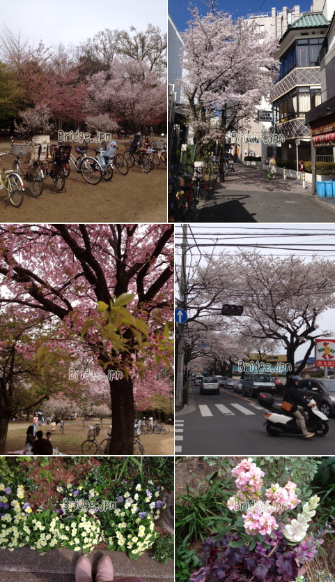 Streets lined with sakura
