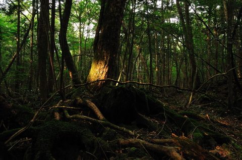 JAPAN - Aokigahara, the forest of suicides